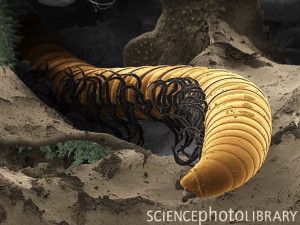 Cave centipede. Coloured scanning electron micrograph (SEM) of a centipede. This myriapod is found only in the Movile Cave, Romania, where life has been cut off from the outside world for the past 5.5 million years. It has evolved in total darkness over that time and has lost its eyes as a result.