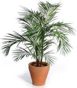 2 - palmier bambus