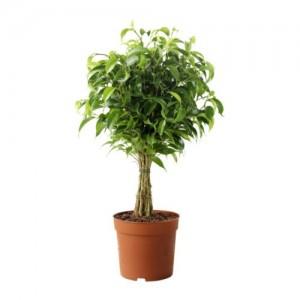 8 - ficus-benjamina-natasja-potted-plant
